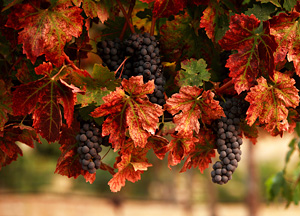 Grapes in vineyard - free from iStockphoto.com